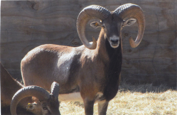Mouflon Sheep Hunting in the Texas Hill Country | Von Netzer Ranch ...